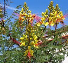 15 Samen Paradiesvogelstrauch - Caesalpinia gilliesii - Bird of Paradise seeds