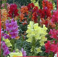 2000 Mixed MOROCCAN TOADFLAX / SNAPDRAGON Linaria Maroccana Flower Seeds *CombSH