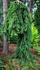 PICEA ABIES FROHBURG 15-25cm ground hugging, weeping.