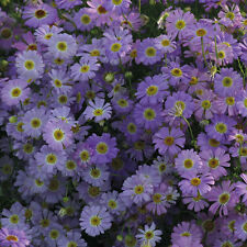 Blue Swan River Daisy Seed Lovely in Rockery Easy Grown Brachycome iberidifolia