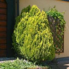 Gelber Zwerglebensbaum 50-60cm - Thuja occidentalis
