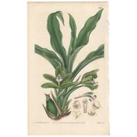 Curtis Botanical Magazine antique 1832 hand-colored engraving Pl 3173 Maxillaria