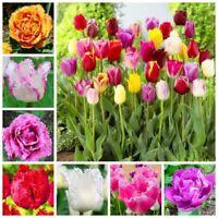 10 Pcs Tulip Seed Flower Tulipanes Flower Plant Symbolizes Love