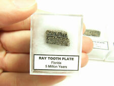 Ray Tooth (Mouth Plate), Florida 5 Million Years, Post Dinosaur Era Fossil
