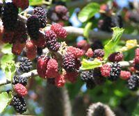 i! SCHWARZE MAULBEERE !i winterhartes frosthartes Garten Strauch Obst Samen Exot