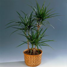 Ideal Gift Plant for Home or Office - Draceana Madagascar Dragon Tree 13cm Pot