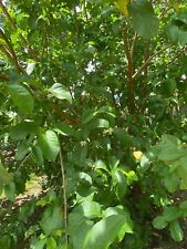 15 Guava Fresh Leaves Organic - Cut Day of Mailing - Free Shipping