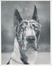 DOGUE ALLEMAND  c. 1950 - Chien Harlequin Great Dane Grand Format - CH 31