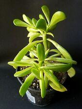 Pepperonia Dolabriformis