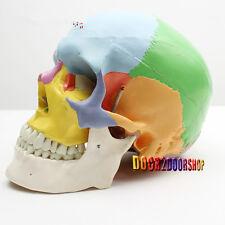 Human Skull Anatomical Anatomy Skeleton Medical Model & Colored Bones