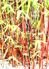 Roter Bambus ´Red Panda ´ der Blickfang im Garten - Winterhart - 5 Samen
