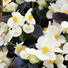 A 50 wax begonia seeds OSTAS H nice white blooms, blooming until the frosts