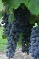 Cabernet Sauvignon Red Wine Grape Vine 3 gallon Live Plant Home Garden Easy grow