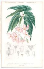 1849 Original Botanique Imprimé Begonia incarnata par Ch. Orbigny, atlas volume 3