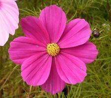 Cosmo Mexicano semillas 150 aprox. Cosmos bipinnatus