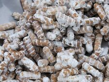 "Shiitake ""warm"" - Lentinula edodes  mushroom Plug Spawn -75 dowels"
