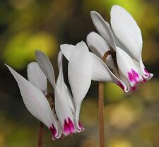 Cyprus Cyclamen Seeds (100 seeds) (Cyclamen cyprium)