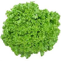 1000 Samen Eisbergsalat Lactuca Sativa Eisberg Salat R6E7
