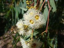 Eucalyptus camaldulensis, River Red Gum, Murray Red Gum,100+ Samen, 100+ seeds