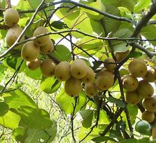 Kiwi Climbing Vine Hardy Heathly Fruit 40 Seeds Actinidia Usa Seller