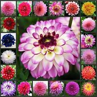 50 Dahlia Flower Seeds Rare Mixed Perennial Plant for bonsai in Home Garden