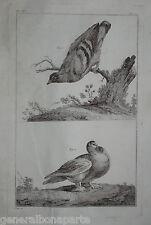 Grande Gravure XVIII ORNITHOLOGIE OISEAUX PIGEONS ? BIRDS BUFFON ?