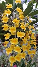 Dendrobium. Aggregatum *Ten Spikes* Mounted Bs Orchid Plant