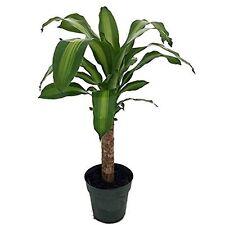 "Creme & Green Corn Plant - Dracaena - 6"" Pot - Easy to Grow House Plant Indoor"