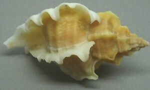 NEW YEAR SALE!!! SEA SHELL MUREX OCENEBRA INORNATA, 54.2mm. BIG SIZE, NICE WINGS