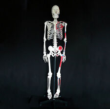 170cm Anatomical Human Skeleton Model with Painted Muscles - Medical Anatomy