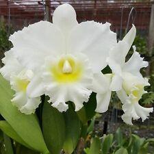 Cattleya Orchid 1 Plant Hybrid Tiffin Bells x Walkeriana alba Blooming Size