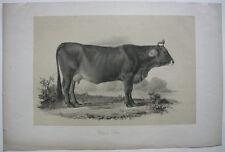 Schwyzer colpo razze bovine bovina ORIG litografico Hanfstaengl 1860 zoologia
