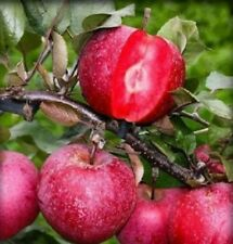 Red Apple Tickled Pink Bare Root Tree Plant Fruiting Outdoor Dessert Edible