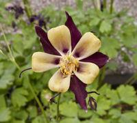 50 Barlow Light Purple Columbine Seeds Flower Perennial Flowers 606 US SELLER