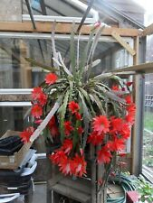4 -- Epiphyllum - Great Uncle Franks Red Cacti Cuttings - a family heirloom