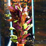 Alternanthera Lilacina Bunch Freshwater Live Aquarium Plant Decoration Red Stems