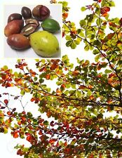 Indian almond Seed Terminalia Catappa Rare Tropical Tree Leaf good for Aquarium