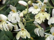 Drumstick Miracle Tree Moringa Seed Edible Medicinal Arid Tropical Subtropical