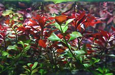 5 x Red Ludwigia Live Tropical Aquarium Plant fish tank Aquatic colour