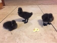 6 Rare Cayuga Duck Fertilized Hatching Eggs From Healthy Flock!