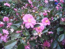 Camellia hiemalis 'Showa No Saki/Show No Saki Sasanqua
