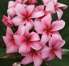 "5 Fresh Seeds Frangipani PLUMERIA RUBRA ""Thai Firecracker"""