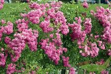 rosa Kletter Rose Wartburg öfterblühende Ramblerrose starkwachsend wurzelnackt