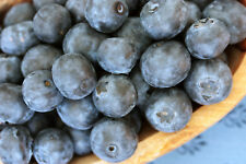 Blueberry 2 LIVE PLANTS! Bush! GroCo USA