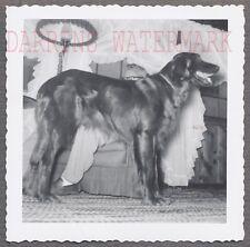 Vintage Snapshot Photo Pet Irish Setter Dog in Home Interior 706787