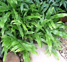 KANGAROO FERN Microsorum diversifolium native plant in 140mm pot