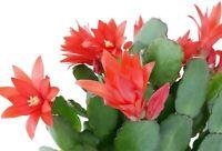 "Zygocactus Red Christmas Cactus Live Plant 4"" Pot Indoor Houseplant XMas"