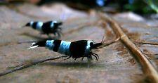 10x BLACK PANDA / shadow panda taiwan bee shrimp caridina cantonensis not cherry