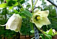 Codonopsis pilosula (Dang Shen, poor man's ginseng) x 10 seeds. Gift in store
