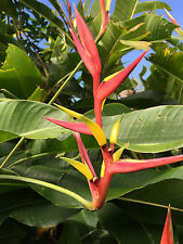 Heliconia Tropical Rare Ginger Plants Exotic
